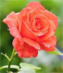 orange roses orange roses by svitakovaeva on deviantart