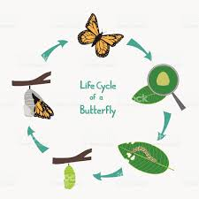 life cycle of a butterfly diagram stock vector art 476743942 istock