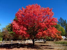 festival of leaves week 4 maple tree sighting in san