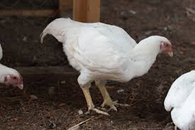 large fowl white cornish roosters or hens backyard chickens