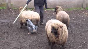 australian shepherd herding sheep taz u0027s first herding lesson youtube