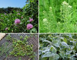smoking weed in backyard that s no weed 10 valuable medicinal edible plants in your yard