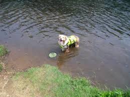 australian shepherd frisbee caleb the ultimate frisbee dog