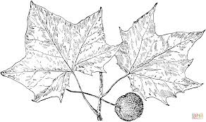sycamore tree leaves coloring page free printable coloring pages