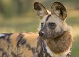 safari ltd african wild dog mammals