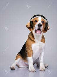 Radio Collar For Beagle Beagle Dog Wearing Headphones Stock Photo Picture And Royalty