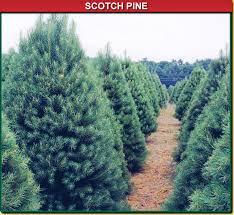 scotch pine wisconsin tree