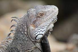 iguana island free images sea water wildlife island iguana fauna lizard