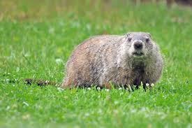 groundhog u0027s groundhogs hiding