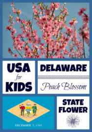 delaware state flower delaware state flower peach blossom by usa facts for kids