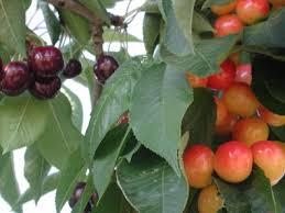 Backyard Fruit Trees Backyard U201cbonzai U201d Fruit Trees Yakima County Washington State