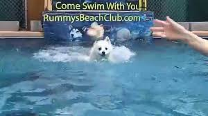 american eskimo dog toy for sale miniature american eskimo dog nicky dock jumps onto swimming pool