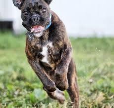 boxer dog european luna ray boxers european type boxer cove oregon u2013 beautiful