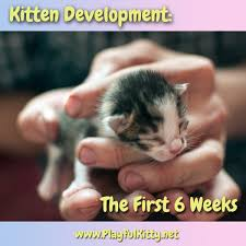 kitten development the first 6 weeks playful kitty