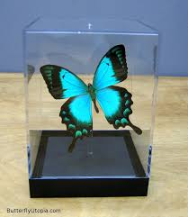 Blue And Green Butterfly - papilio lorquinianus aqua blue green radiant swallowtail butterfly