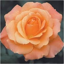 shades of orange names shades of orange salmon matthews nurseries ltd