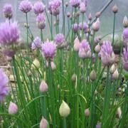 erba cipollina in vaso pianta erba cipollina mondo piante vendita piante
