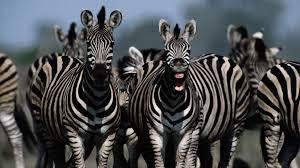 zebra herd ngsversion 1396530732836 adapt 1900 1 jpg