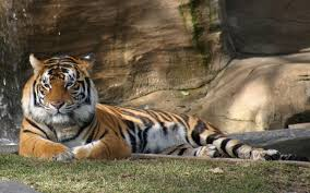 a relaxing afternoon in the sun for this tiger what could be more