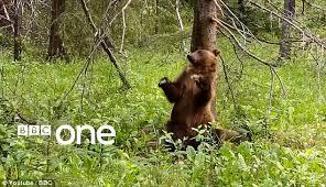 Dancing Bear Meme - bbc s planet earth ii ad shows dancing bear twerking to pussycat