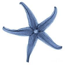 starfish x ray by gustoimages starfish x ray photograph