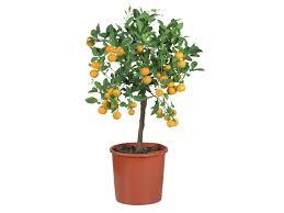 ornamental citrus plants lidl great britain specials archive