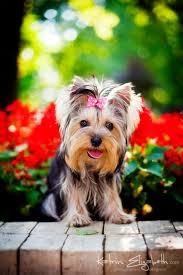 Dog Breeds That Dont Shed Uk by The 25 Best Smallest Dog Breeds Ideas On Pinterest Smallest Dog