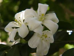 murraya paniculata large orange jasmine narancsjázmin u2013 wikipédia