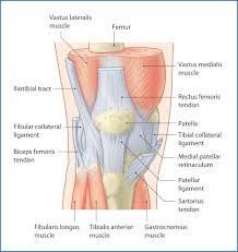 Anterior Fibular Ligament Knee Joint And Popliteal Fossa Basicmedical Key