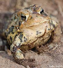 How To Get Rid Of Cane Toads In Backyard How To Dote On Toads