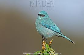 Verditer Blue Minden Pictures Stock Photos Verditer Flycatcher Eumyias