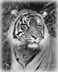black and white tiger photograph by steve mckinzie