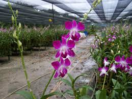 Dendrobium Orchid Orchids Asia Orchids Collectibles Plants Vanilla Spices Resource