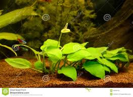 Plants Blooming Aquarium With Plants Royalty Free Stock Photography Image 35645107