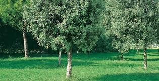 albero giardino alberi ecco quali scegliere per un giardino ricco