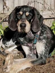 bluetick coonhound dog boone the bluetick coonhound dogs pinterest more bluetick