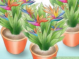 birds of paradise flower how to grow bird of paradise 15 steps with pictures wikihow