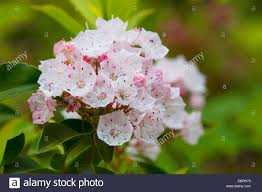 kalmia latifolia mountain laurel kalmia latifolia inflorescence usa tennessee
