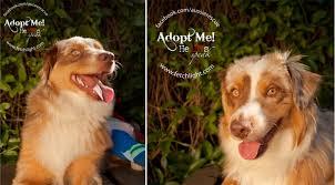 rescue a australian shepherd january aussie rescue san diego adoptable dogs fetchlight