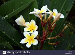 flower blooming white frangipani tropical flower blooming on tree plumeria spa