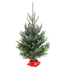 balsam fir christmas tree tabletop fraser fir christmas tree davenport garden centre