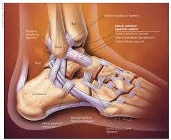 Talus Ligaments The U201chigh Ankle Sprain