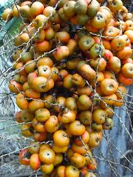 Palm Trees Fruit - palm tree fruit edible home design inspirations
