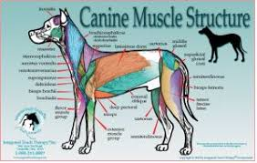 Dog Anatomy Poster Horse Massage Therapy Equine Massage Workshops Animal U0026 Pet