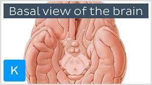 The Anatomy Of The Human Brain Video Basal View Of The Brain Kenhub