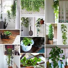 Best Plant For Indoor Low Light 56 Best Pothos Images On Pinterest Houseplants Indoor Plants