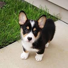 corgi x australian shepherd the 25 best beagle mix ideas on pinterest beagle mix puppies