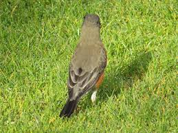 a new quiz on backyard birds sibley guides