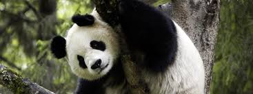 giant panda species wwf