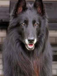 belgian sheepdog breed info 37 best belgian sheepdog images on pinterest friends ps and